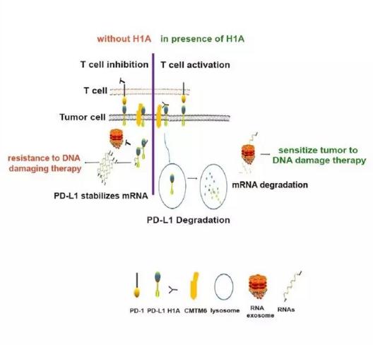 意外!PD-L1还有不为人知的功能――促进肿瘤细胞修复